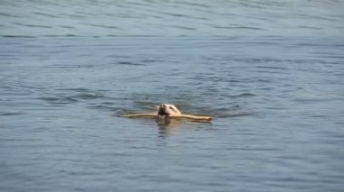 Dog of breed labrador retriever swims in the lake. Goes out water shaken off. — Stock Video
