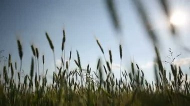 Young wheat moves from the wind. Medium shot. Dolly shot. — Stock Video