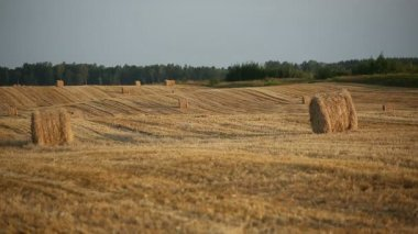 Cleaner wheat field after harvest with haystacks — Stock Video