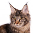 Maine Coon cat in front of white background. — Stock Photo #63729757
