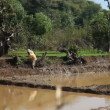 INDIA, GOA - DECEMBER, 2011: People working in the rice fields — Stock Video #63827909
