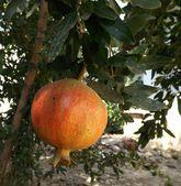 Granaatappel vruchten — Stockfoto