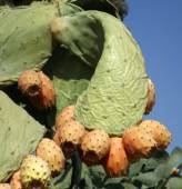 Fruits prickly pear in cactus — Stockfoto