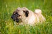 Funny pug — Stock Photo