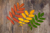 Red, yellow and green leaves of rowan lying diagonally on a wood — Stock Photo