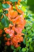Flowers Of Japanese Quince On A Background Of Green Foliage. — Stock Photo