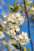 Flowering Branch Of Cherries Against The Blue Sky. — Stockfoto