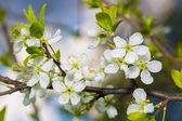 Blossoming Cherry Branch With Green Leaves. — Stock Photo