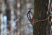 Woodpecker - the orderly forest. — Stock Photo