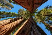 Giant sequoia trees in Sequoia National Park, California — Stockfoto