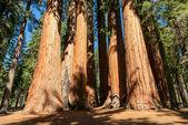 Giant sequoia trees in Sequoia National Park, California — Stock Photo
