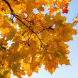 Beautiful yellow and orange autumn maple leaves over blue sky closeup — Stock Photo #65212505