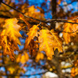 Beautiful yellow and orange autumn maple leaves over blue sky closeup — Stock Photo #65212511