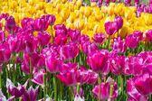 Beautiful multi color tulip flowers field — Стоковое фото