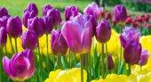 Beautiful purple and yellow tulip flowers closeup — Stok fotoğraf