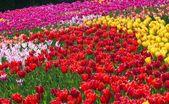 Beautiful multi color tulip flowers field — Stock Photo