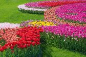 Beautiful multi color tulip flowers field — Stock Photo