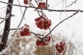 Замороженные ягоды рябина, покрытые снегом и льдом крупным планом — Стоковое фото