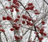 Frozen rowan berry tree covered with snow and ice closeup — Stock Photo
