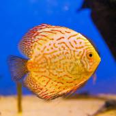 Orange aquarium fish Discus on blue background with bubbles — Stock Photo