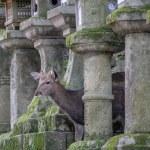 Deer hiding behind Japanese lanterns — Stock Photo #75891147
