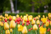 Tło czerwone i żółte tulipany — Zdjęcie stockowe