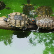 Small turtles in wildlife — Stock Photo #53125769