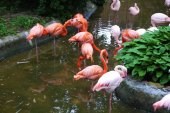 Set of red flamingo — Stock Photo