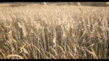 Rye field ears in autumn landscape at beach. — Stock Video