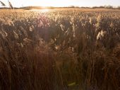 Reed grass with golden light  — Stock Photo