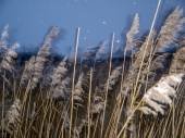 Reeds at evening in winter — Stock Photo