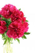 Red peonies flowers  — Stock Photo