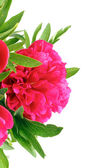 Fiori di peonie rosse — Foto Stock