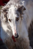 Dogs. Russian borzoi. — Foto de Stock