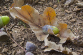 Oaken leaves and acorns. Close-up — Stock Photo