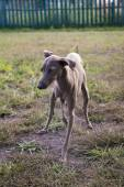 Italian greyhound dog playing on the lawn. Silver coat color — Stock Photo