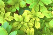Pachysandra terminalis foliage digital processed — Stock Photo