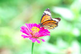 Butterfly on pink flower in the garden on sunny day — Stock Photo