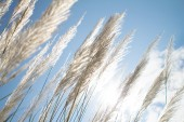 Abstract softness white Feather Grass with sky blue background and space — Stock Photo