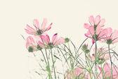 soft focus of cosmos flowers  — Stock Photo