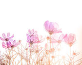 soft focus of cosmos flowers  — Stock Photo
