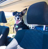Little Dog in the Car — Foto Stock