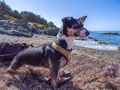 Little Dog on the Beach — Stock Photo