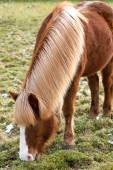 Blonde horse grazing grass on a meadow — Stok fotoğraf