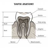 Tooth anatomy — Stock Vector