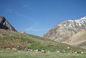 Himalayan flock of sheep — Stock Photo