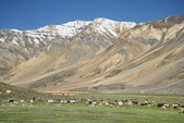 Sheeps among snow capped mountains — Stock Photo