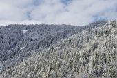Deep Alpine Fir forest — Stock Photo