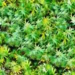 Marijuana plants field seamless texture pattern oil painting — Stock Photo #71789243
