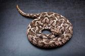 Viper snake — Stock Photo